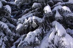 Fresh snow on conifer tree branches (Jon Dev) Tags: conifer