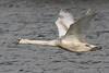 Mute Swan cygnet (Wayne A J.) Tags: mute swan cygnet llanelli flight