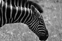 Plains Zebra (roanfourie) Tags: nikon d3400 nikkor flickr flick explore 70300mm ed dx afp vr southafrica africa pilanesberg bakubung zebra nature wild animal wildlifephotography naturephotography head bokeh dof photography raw gimp day outdoors february32018 blackandwhite graze dslr bnw black white bw february 2018