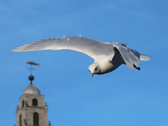 Larus glaucoides (Iceland gull)