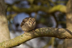 IMG_5235 (Lightcatcher66) Tags: spatzensparrows florafauna makros lightcatcher66