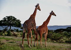 The Serengeti Stroll - Mister Nibbles strolls in the the Serengeti Sunset with his tall dream date (Timothy Hastings) Tags: tallest tall acacia thorn mammal neck africa tanzania giraffe wildlife nature wilderness reality