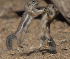 Kung Fu Fighters (cindyslater) Tags: kungfufighting wrestling mohavegroundsquirrel ninja kungfuchipmunk squirrel kungfusquirrel chipmunk goldenvalleyaz kungfu arizona kungfumaster kungfufighter alvinthechipmunk animal