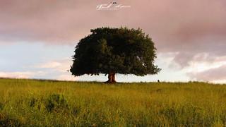 SOLITARY_TREE_CHIMUARA_ZAMBEZIA_MOZAMBIQUE
