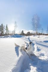 Bongo the snow whale. (mikbang) Tags: dog bordercollie snow white 2018 blue skies norway norge stange mikemedkamera mikaelbangandersen