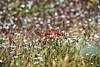 A splash of red. (pstone646) Tags: poppies wildflowers daisies nature meadow grass kent flora bokeh dof landscape