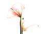 Calla (macplatti) Tags: xt2 xf55200mmf3548rlmois flora calla rose rosa pink bleach koblach vorarlberg austria aut
