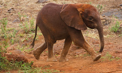 Feeding Time. Sheldrick Elephant Orphanage Nairobi (welloutafocus) Tags: elephant calf orphan kenya sheldrick