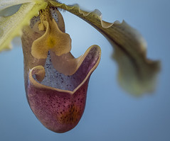 Freckles (SkyeWeasel) Tags: macromondays speckled orchid slipperorchid macro paphiopedilum flower plant