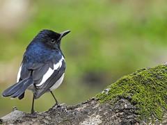 Oriental Magpie-Robin (male) 鵲鴝公鳥 (Guan_ting) Tags: 鵲鴝 公鳥 oriental magpierobin male 凝望 bird 植物園 taipei botanical garden nikon p900