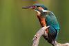 Female Kingfisher (Alcedo Atthis) with Fish - 5/5 The All Gone (Karen Roe) Tags: lackford lake lackfordlake naturereserve nature reserve suffolk county england britain uk unitedkingdom greatbritain gb canoneos760d canon 760d 150600mm sigma zoom wildlife hide september 2017 peaceful quiet tranquil outside autumn weather season camera photography photograph photographer picture image snap shot photo karenroe female flickr visit visitor common kingfisher alcedoatthis