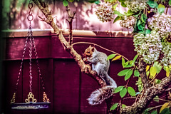 squirrel snacking HSS :-) (Dotsy McCurly) Tags: squirrel yard fence treehydrangea hanging food flowers nj newjersey nikond750 tamron18400mmf3563 hss happysliderssunday 7dwf fauna adobe photoshop texture
