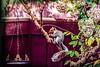 squirrel snacking HSS :-) (Dotsy McCurly) Tags: squirrel yard fence treehydrangea hanging food flowers nj newjersey nikond750 tamron18400mmf3563 hss happysliderssunday 7dwf fauna adobe photoshop texture
