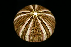 Echinus affinis (sdon84) Tags: nature urchin marine natural sea ocean biology science