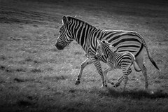 hurry up ! (hjuengst) Tags: blackandwhite zebra southafrica plettenbergbay plettenberggamereserve game animal gardenroute