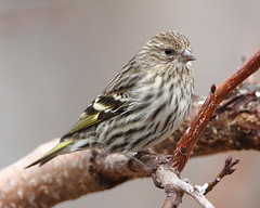Pine Siskin (jlcummins - Washington State) Tags: bird backyardbirds home yakimacounty washingtonstate wildlife fauna finch