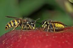 Gisela_Nagel-Fl-8369-Gemeine Wespe (giselasfotos) Tags: wespe wasps gedehamse insect møn island denmark dänemark storstrøm vespulavulgaris almindeliggedehamse gemeinewespe commonwasps inselmön ø kreideinsel ostmøn