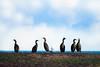 Shag (HallieDaly) Tags: bird photography scotland britain united kingdom girdleness aberdeen shag cormorant oystercatcher common eider duck nature
