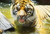 Annoying Flies (Bl.Mtns.Grandma) Tags: taronga zoo sydney sumatran tiger flies