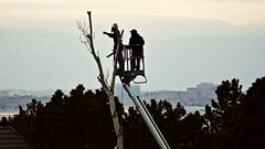 Cutting Down a Cottonwood Tree at Dusk - V (Ginger H Robinson) Tags: cut saw chainsaw helmet boots gloves point finger cigarette rope crane platform cottonwood tree branch rockymountains frontrange city denver colorado dusk