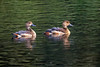 Lesser whistling duck - ছোট সরালী (Showkat.Shuvro-ইচ্ছে ঘুড়ি) Tags: ছোট সরালী whistlingduck dendrocygnabicolor jnu savar dhaka showkatshuvro wildlifephotography asia bird wildlifeplanet nature nutsaboutbirds bangladesh wildbirds explorebangladesh ngc bestbirdshots yourbestbird discoverwildlife wings kingsbirds pocketbirds wildlifefriend birdsabroad birdsbrilliance featherperfection birdsnature dslrofficial maestroi eyespybirds colorfulworldpictures brqt 121clicks 500px flickr exclusivewildlife perfectbirds naturegeograpgy wintervisitor wader couple