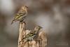 Pine Siskins (Brad Lackey) Tags: pinesiskin finch birds birding birdwatching songbird perch stump log tree forest woods winter migration bokeh strobist sb700 tamron150600mmg1 d7200