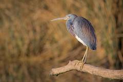 Sun Deck (gseloff) Tags: tricoloredheron bird sunning wildlife nature animal branch reflection reeds bayou horsepenbayou pasadena texas kayak gseloff