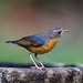 Indian Blue Robin, Sub Adult