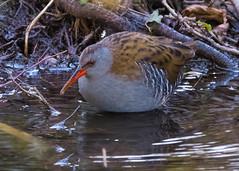 Water Rail (  Rallus aquaticus ) (Dale Ayres) Tags: water rail rallus aquaticus bird nature wildlife