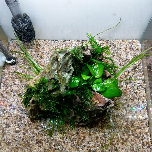 挑戰以矽砂為底土的挖耳草平原風水草缸(失敗案例分享)