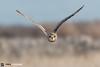 Short Eared Owl (Paul Forgham) Tags: seo owl shortearedowl paulforgham portlandbill bif birdsinflight raptor bop birdofprey dorset nature bird flight canon