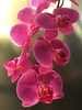 Phalaenopsis IMG_4386 (fernandodelatorre46) Tags: phalaenopsis méxico mexico orchids orquídea mexicocity