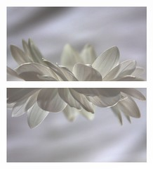 On pure white . . . (nickylechatreux) Tags: fleur flower blanc macro pétale monochrome onpurewhite smileonsaturday sos