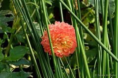 Catched in the Green (Sockenhummel) Tags: britzergarten dahlien grünberlin herbst dahlie orange gräser grün gitter dahlienfeuer blüte sommer fuji x30 dahlia autumn flower