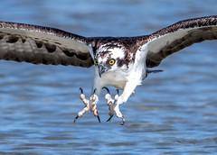 The Business End (PeterBrannon) Tags: osprey fort desoto pandionhaeliatus florida birdofprey raptor talons