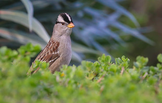White-crowned Sparrow South Coast Botanic Garden  Palos Verdes Pennisula California 142