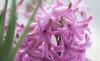 spring time is coming... (marinachi) Tags: somethingfortheweekend hyacinth flower flowers spring pink plant macro closeup
