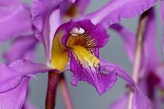 Laelia superbiens species orchid, 2nd bloom  2-18* (nolehace) Tags: laelia superbiens species orchid winter nolehace sanfrancisco fz1000 118 flower bloom plant