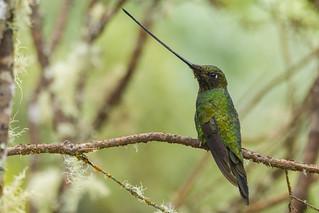 Ensifera ensifera - Sword-billed Hummingbird - Colibrí Pico de Sable.