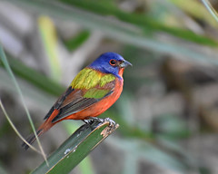 Painted Bunting (BMADHudson) Tags: colorfulbirds colorful rainbow bird tiny small branch outside florida delray beach greencaynature greencay southflorida