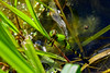 Green Dragonfly (thatSandygirl) Tags: dragonfly insect flyinginsect swamp water predator green black striped outdoors wildlife animal nature