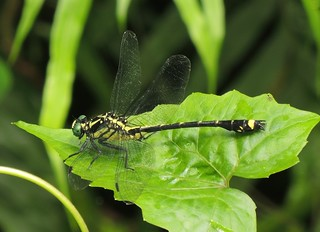Hainan Clubtail (Asiagomphus hainanensis) Male