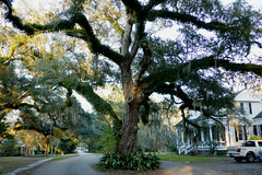 This massive Live Oak tree dominates the street (Monceau) Tags: covington louisiana neighborhood massive liveoak tree house
