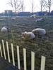 20180227 kudde (enemyke) Tags: pixeldiary 2018 station schapen kudde sheep ovejas bandada dijk flock
