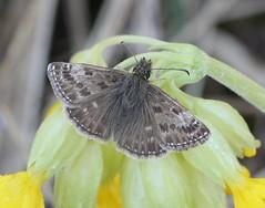 Erynnis tages (Hesperiidae) (Renko Usami) Tags: hesperiidae lepidoptera insecta arthropoda erynnis tages