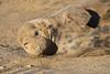 Disturbing my shut eye (jpotto) Tags: donnanook uk lincolnshire seal animal