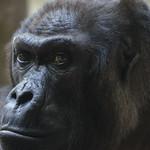 'Gorilla' - Basel Zoo, Switzerland thumbnail