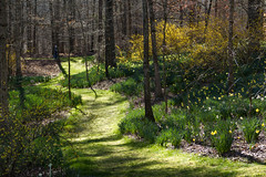Forest in bloom (Irina1010) Tags: trail forest daffodils blooms trees bushes forsythia spring 2018 gibbsgardens daffodilfestival nature landscape canon ngc npc outstandingromanianphotographers