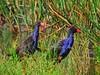 Purple Swamp Hen I (Explored) (elphweb) Tags: bird birds purpleswamphen waterhen waterbirds reeds