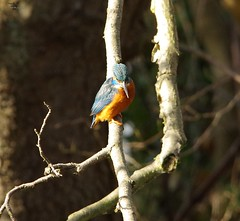 endcliffe park kingfisher sheffield 2018 (22) (Simon Dell Photography) Tags: endcliffe park bingham whitley woods forge dam kingfisher bird rare blue orange winter spring grey animal nature together wildlife sheffield botanical gardens simon dell photography 2018 feb 24 sunny detail high res perched sitting fishing